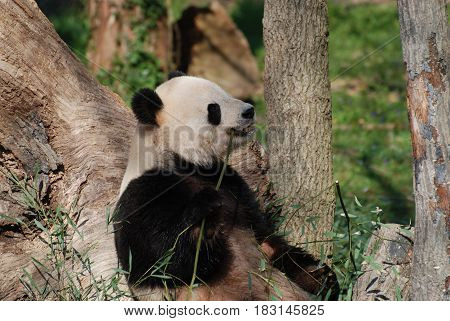 Cute giant panda bear sitting up and leaning against a tree.