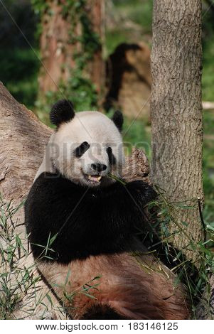 Giant panda bear resting against a tree trunk eating bamboo.
