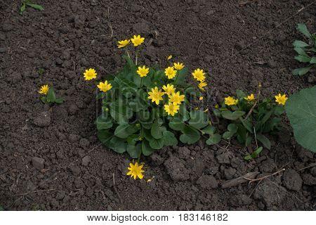 Flowering Ficaria verna plant in spring garden