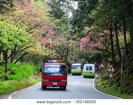 Cherry Blossom In Alishan, Taiwan