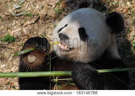 Adorable panda bear holding on to bamboo while he eats it.