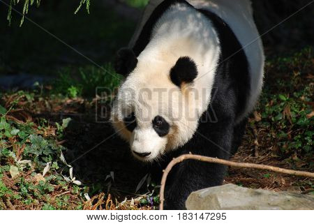Gorgeous giant panda bear with a very sweet face.