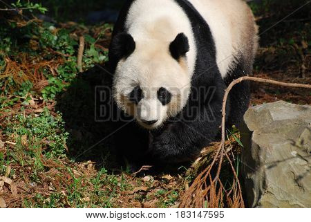Beautiful sweet giant panda bear waddling around.