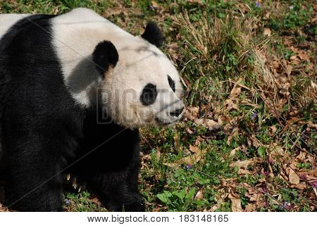 Gorgeous giant panda bear standing in a grass field.