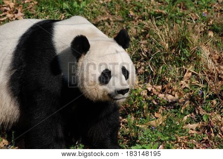 Cute wild giant panda bear sitting in a grass field.