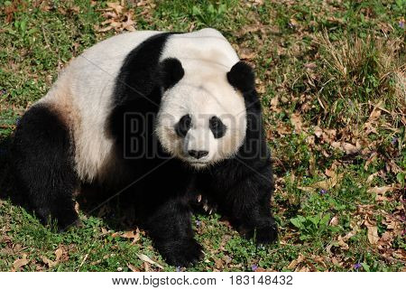Giant panda bear sitting on his haunches in grass.