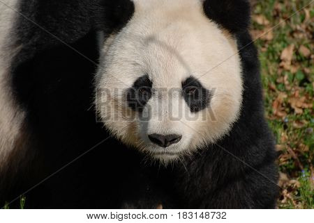 Panda bear with a very serious facial expression.