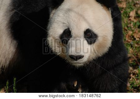Beautiful face of a giant panda bear in the wild.