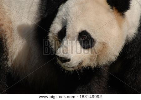Beautiful fluffy fur face of a giant panda bear.