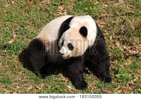 Gorgeous giant panda bear sitting down on his haunches.