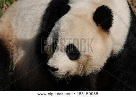 Looking up close at the face of a giant panda bear.