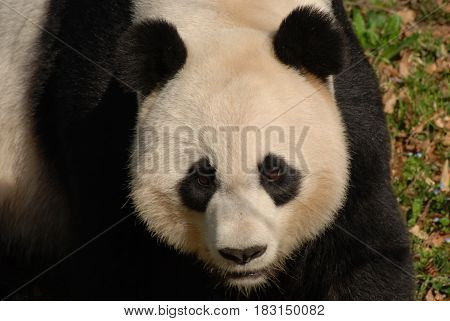 Gorgeous face of a giant panda bear up close and personal.