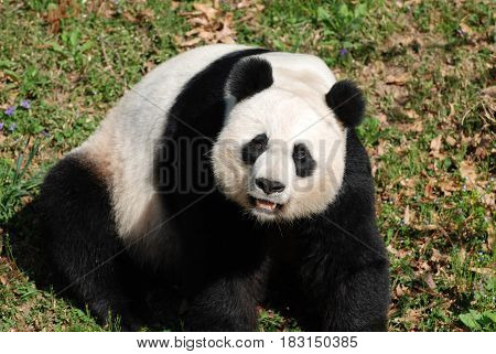 Cute giant panda bear making faces while sitting on his haunches.