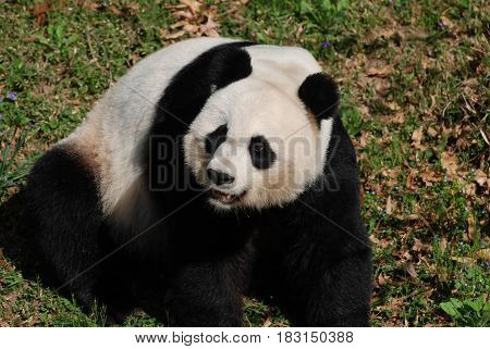 Large giant panda bear sitting back on his haunches.