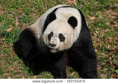 Really cute panda bear making funny faces on his haunches.