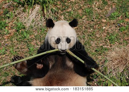 Cute panda bear eating the center of bamboo shoots.