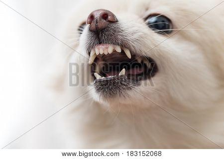 White Pomeranian showing teeth