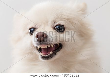 Pomeranian getting angry