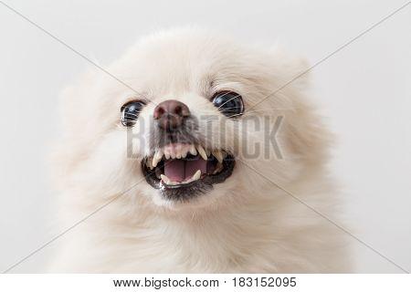 Pomeranian angry