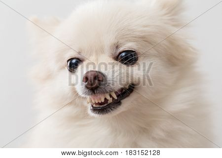 Cute White Pomeranian getting angry