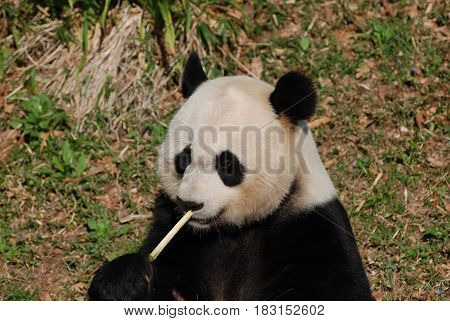 Beautiful giant panda bear eating bamboo shoots.