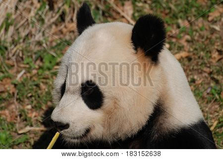 Really great face of a giant panda bear with bamboo.