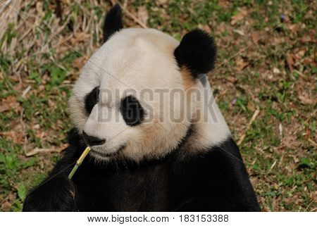 Panda bear sitting up and eating bamboo.