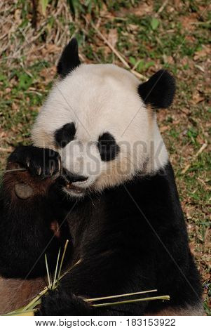 Really cute panda bear eating shoots of bamboo.