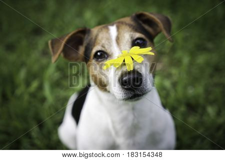 Dog on a green background with a yellow flower on the nose. No hay and allergy healthly life style