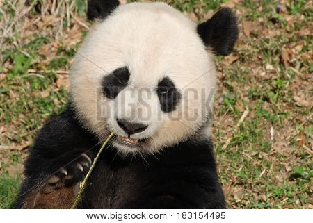 Giant panda bear with a shoot of bamboo hanging out of his mouth.