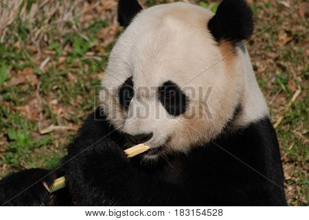 Amazing face of a giant panda bear with shoots of bamboo.