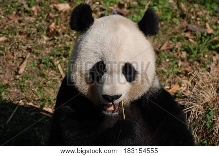 Adorable face of a black and white panda bear eating.