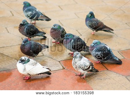 flock of pigeons closeup, relax on wet sidewalk after rain