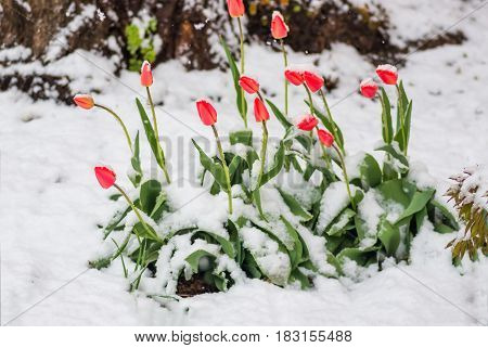 Blooming red tulip flowers in spring covered with the last cold snow in the park when it suddenly became cold