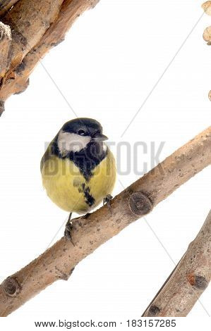 Titmouse on a branch isolated on a white background