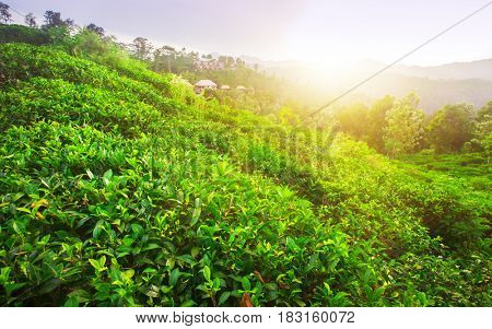 green fields of tea at sunset time
