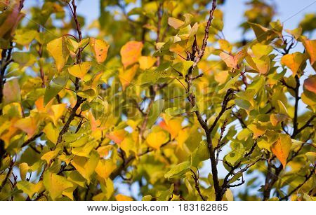 Yellow leaves on the branches in autumn nature background.