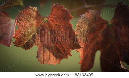 Red grapes leaf, autumn time nature detail.