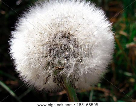 Pusteblume with delicate seed-buds in the sommer