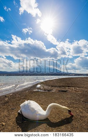 White Swan In Yamanaka Lake With Fuji Mountain