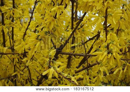 Close Up Of Branches Of Forsythia Covered With Flowers