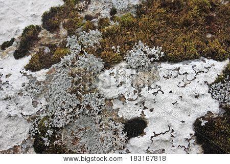 lichen growing on a granite rock on Dartmoor