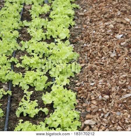 Green lettuce with growing in organic farm