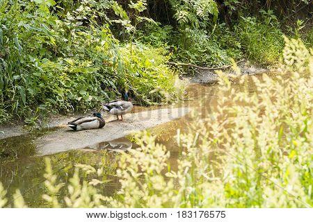 two ducks on a sandbar along the bank of a creek