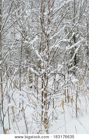A young birch tree in the forest is covered with a snow blanket. Natural phenomena worthy of attention.