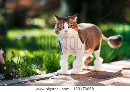 Domestic cat walks in the courtyard on a spring sunny day.