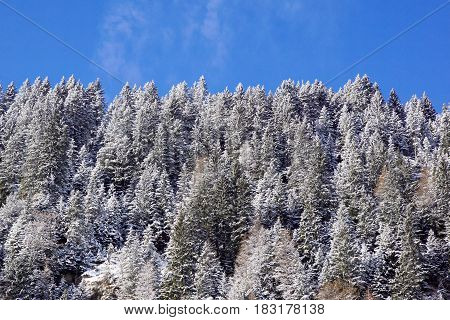 Forest covered by snow with clear blue sky in cold sunny winter day .