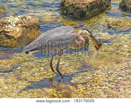 Heron catching a fish in in Ballast Point Park Tampa Florida