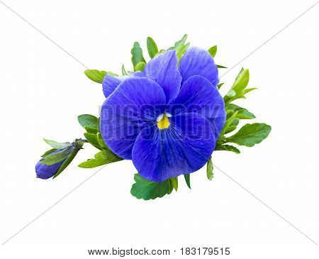 violet flower. Pansies on White background. flower Pansy