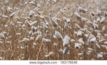Grass buds in the wind, Australia 2017